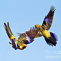 Dance of the Yellow Crimson Rosella Print by Bill  Robinson