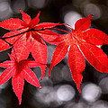 Dancing Japanese Maple Print by Rona Black