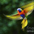 Dancing Rainbow Lorikeet 7 Poster by Heng Tan