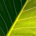 Darkness And Light - Elephant Ear Leaf Details Print by Mark E Tisdale