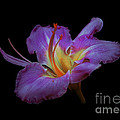 Daylily Bloom In The Dark Print by ImagesAsArt Photos And Graphics
