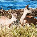 Deer on the Beach at Point Lobos CA Print by Artist and Photographer Laura Wrede
