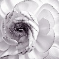Delicate - White Rose Flower Photograph Poster by Artecco Fine Art Photography - Photograph by Nadja Drieling