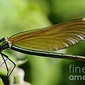 Demoiselle Print by Phill Potter