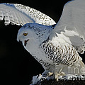 Destiny's Journey - Snowy Owl Poster by Inspired Nature Photography By Shelley Myke