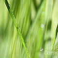 Dew Drops in Long Sunlit Grass Print by Natalie Kinnear