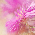 Dewy Pink Asters Print by Lois Bryan