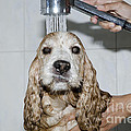Dog taking a shower Print by Mats Silvan