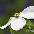 Dogwood Blossom - D001797 Poster by Daniel Dempster