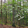 Dogwood in Meriwether Lewis Campground at Mile 386 of Natchez Trace Parkway-TN Poster by Ruth Hager