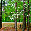 Dogwood on the Parkway at Mile 199 on Natchez Trace Parkway-MS Print by Ruth Hager