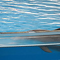 Dolphin Show - National Aquarium in Baltimore MD - 121211 Print by DC Photographer