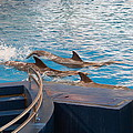 Dolphin Show - National Aquarium in Baltimore MD - 1212186 Print by DC Photographer