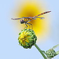 Dragonfly In Sunflowers Print by Robert Frederick