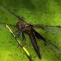 Dragonfly Macro Poster by Jack Zulli