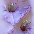 Dreams of Purple Gladiola Flowers Poster by Jennie Marie Schell