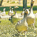 Duck Duck Goose Print by Artist and Photographer Laura Wrede