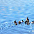 Ducklings Day Out Print by Kaye Menner