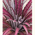 Dyckia 'Jim's Red' Poster by Saxon Holt