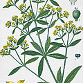 Dyers Madder Print by French School