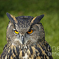 Eagle Owl Print by Clare Bambers