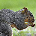 Eastern Fox Squirrel Poster by Brandon Alms