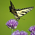 Eastern Tiger Swallowtail Butterfly And Purple Chives Print by Christina Rollo