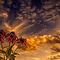 Echinacea Sunset Print by Bob Orsillo