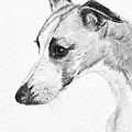 Elegant Whippet Print by Kate Sumners