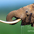 Elephant drinking water Print by Johan Swanepoel
