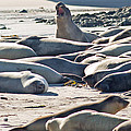 Elephant Seals at Ano Nuevo State Park California Print by Natural Focal Point Photography