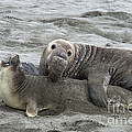 Elephant Seals Mating Print by Mark Newman