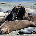 Elephant Seals Print by Mike Ronnebeck