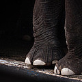 Elephant Toes Poster by Bob Orsillo