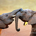 Elephants touching each other Print by Johan Swanepoel