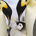 Emperor Penguin Parents With Chick Poster by Konrad Wothe