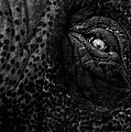 Eye of the Elephant Print by Bob Orsillo