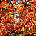 Fall Foliage Colors 22 Print by Metro DC Photography