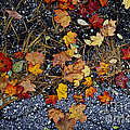 Fall leaves on pavement Poster by Elena Elisseeva