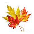 Fall maple leaves on white Print by Elena Elisseeva