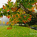 Fall maple tree in foggy park Poster by Elena Elisseeva