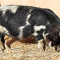 Farm Pig 7D27356 Poster by Wingsdomain Art and Photography