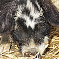 Farm Pig 7D27361 Poster by Wingsdomain Art and Photography