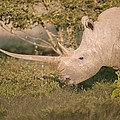 Female white rhinoceros grazing Print by Science Photo Library