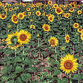 Field of Sunflowers Poster by Adrian Evans