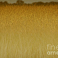 Fields of Gold nature abstract Poster by Anahi DeCanio