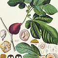 Fig engraved by Johann Jakob Haid  Print by German School
