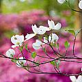 Floating Dogwood Print by Eggers   Photography