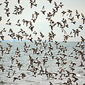 Flock of Dunlin Print by Karol  Livote