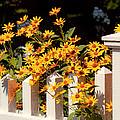 Flower - Coreopsis - The warmth of Summer Print by Mike Savad
